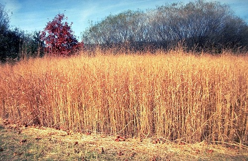 Switchgrass is a potentially important source of biomass (Photo Courtesy of NRCS)