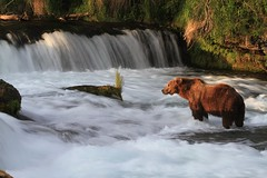 Last light at the Falls (toryjk) Tags: bear brownbear brooksfalls katmai sunsetbear