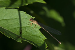 Dancer (violetflm) Tags: insect native july dancer il damselfly cbg d300s 45orless d3s5871