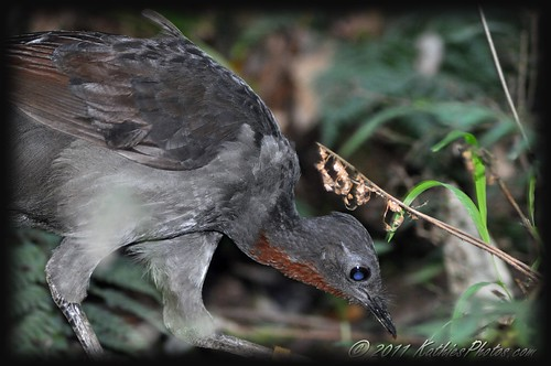 215-365 Superb Lyrebird Foraging
