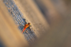 Top Down Dragonfly DSC_4460 by Mully410 * Images
