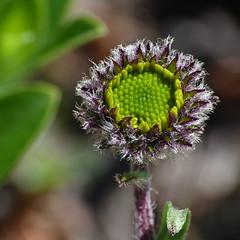 Golden Fleabane / Erigeron aureus (annkelliott) Tags: flowers canada flower macro nature closeup kanan