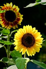 Aug032011_0915-Sunflowers (©Delos Johnson) Tags: flowers canon garden sunflower topaz delos g9 detail4 denoise
