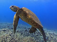 sea turtle (bluewavechris) Tags: ocean life blue sea brown fish green nature water animal coral swim hawaii marine underwater snorkel turtle reptile wildlife dive shell maui reef creature flipper