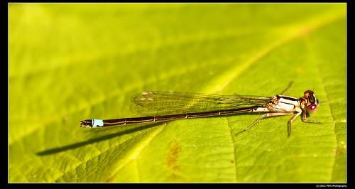 Pacific Forktail (Ischnura cervula)