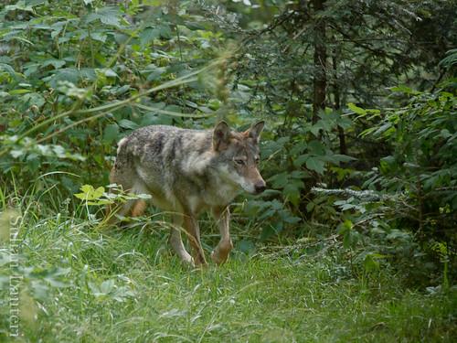 Visite des loups au parc Alpha 6041863487_beb0f1ddab
