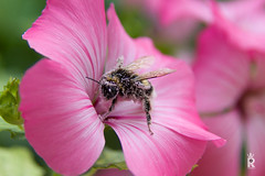 Pollen Pig (Royalty Pics) Tags: pink white flower macro bee covered pollen