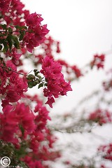 (AFNAN K.H -  ) Tags: pink flowers trees white flower tree green rose canon heavenly            1000d