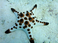 Red Starfish (mattk1979) Tags: coral island underwater philippines scuba diving cebu reef visayas malapascua threshersharkdivers