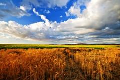 Fields of Gold (Darrell Wyatt) Tags: field clouds washington farm wheat goldenhour canola pasco atsunrise flickrdiamond