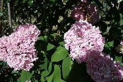 Hydrangea flowers - pink 2 (triciawd) Tags: roses lavender salvia hydrangea geraniums heuchera tigerlily gladiola liatris daylilies hensandchicks portulaca butterflyweed cleome hostaflowers gayfeather astilbeflowers