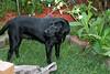 Midnight relaxing in the garden (triciawd) Tags: dog toronto garden blacklab labradorretriever lyingdown eatinggrass