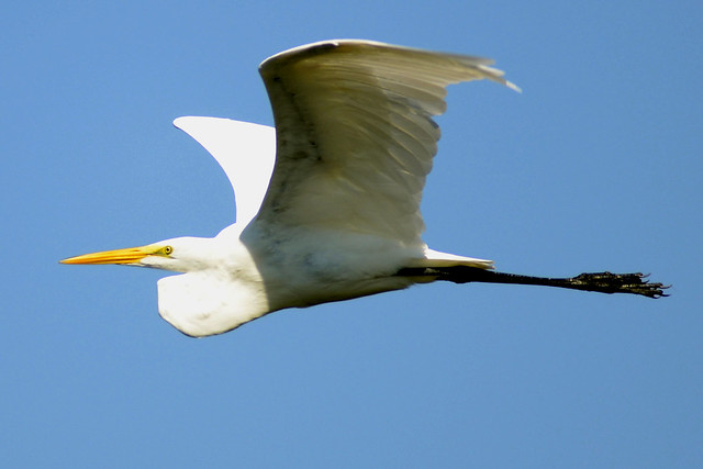 egret flight 2011