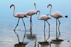 Camargue 1 09.11 143 (MUMU.09) Tags: bird rose photo foto flamingo aves ave bild fugl oiseau flaming flamenco  vogel imagem  uccello  ku chim ptak fgel   flamant     fenicottero  madr    an      plamek  hng      tkklistar  hac
