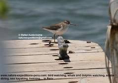 Wandering tattler Birding Peru (Nature Expeditions 06) Tags: trip vacation bird peru nature birds port islands marine holidays tour shorelines birding stefan tringa coastal shore wetlands beaches trips guide wandering guano sandpipers tattler expeditions wanderingtattler pucusana scolopacidae birdguide incana pantanosdevilla tringaincana natureexpeditions birdinginperu austermhle birdingperu sandpipersofperu shorebirdsofperu
