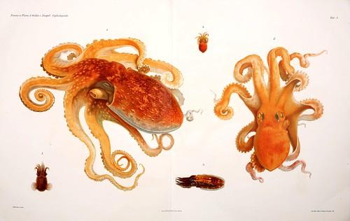 007-I Cefalopodi viventi nel Golfo di Napoli-1896-Giuseppe Jatta