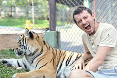 tiger kingdom 23 (The Manchiks) Tags: animals thailand zoo stripes cage tigers chiangmai bigcats tigerkingdom