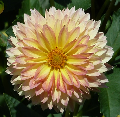 Highland Park, IL, Chicago Botanic Garden, Yellow Dahlia by lalobamfw