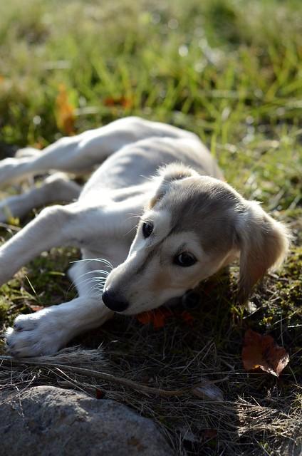 New Saluki Puppy