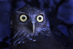 owl vision (Andrew C Wallace) Tags: night healesvillesanctuary victoria vision owl hunter