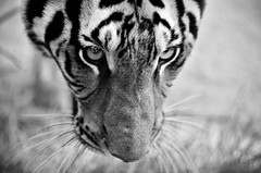Meow. (A. adnan) Tags: wild portrait bw closeup eyes nikon eyecontact wildlife tiger 85mm whiskers safari nikon85mmf18d southchinatiger d7000 gettyimageschinaq3