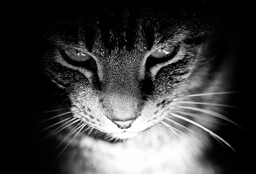 [フリー画像] 動物, 哺乳類, 猫・ネコ, モノクロ写真, 201109251100