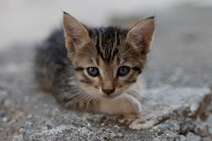 Stray Kitten, Ortaca (flatworldsedge) Tags: portrait cat turkey concrete eyes kitten feline bokeh ears whiskers stray f4 feral catchlight mugla ortaca