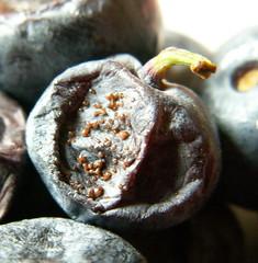 20110906 003 (David J. Radcliffe (Isle of Man)) Tags: breakfast rotten blueberries mouldy 20110906