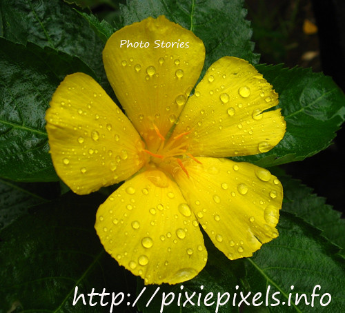 rain-drenched yellow flower