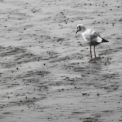 dinner time (Yvonne Huntelerslag) Tags: beach nature water birds waddenzee island wadden ameland isle