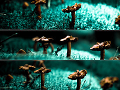 Mushrooms. (Arnbear) Tags: wood orange brown green nature mushroom grass norway forest canon mushrooms twilight triptych sigma triple sopp lightroom chantarelle bryophyte diptic sigma30mm picframe 30mmf14 norwegiannature canon550d