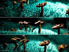 Mushrooms. (Arnbear) Tags: wood orange brown green nature mushroom grass norway forest canon mushrooms twilight triptych sigma triple sopp lightroom chantarelle bryophyte diptic sigma30mm picframe 30mmf14 norwegiannature canon550d
