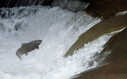M's salmon1a