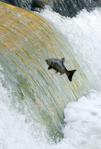 salmon4
