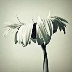 (hazy shade of winter) Tags: flower gerbera