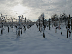 Winter Grapevines (Batikart ... handicapped ... sorry for no comments) Tags: winter light shadow sun snow germany landscape vineyard vines europe wine line fellbach badenwrttemberg 2011 batikart 201201