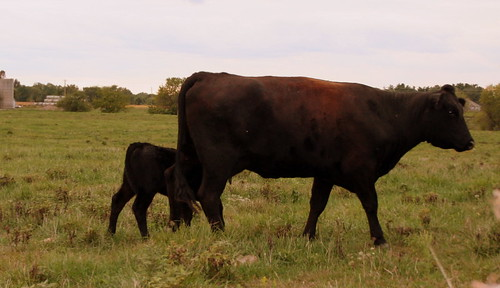 Neighbor's Angus Cow and Calf