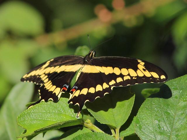 Giant Swallowtail 20110928
