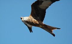 2011-09-30 Red Kite 018 (PeaTJay) Tags: birds birdsofprey redkite carlsbirdclub