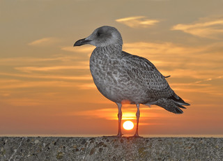 Sunset Herring Gull