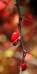 Red berries (Antti Tassberg) Tags: autumn red 2 plant flower macro fall berry bokeh 4 autumncolors kasvi redberry marja kukka pensas blinkagain piikkipensas eosadventure