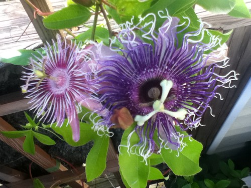 some of my passiflora - Page 2 6201288705_21b06889f8