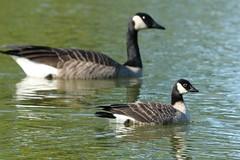 Cackling Goose (41/52) (Rita Wiskowski) Tags: park autumn canada bird fall wisconsin geese pond goose cudahy migration comparison canadagoose cackling cacklinggoose sheridanpark milwaukeecounty