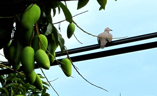 IMG_0919 斑鸠和芒果