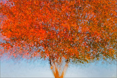 maple tree (Sandra Bartocha) Tags: autumn fall maple herbst acer impressionism ahorn