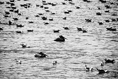 Dana Point, CA (DClemm) Tags: blackandwhite beach pelican pacificocean danapoint seabirds doheny blackandwhitephotos d80 blackwhitephotos