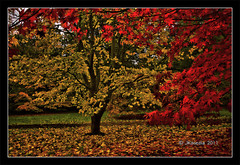 Autumn Leaves (JKmedia) Tags: autumn red tree green grass leaves maple ground arboretum cover westonbirt