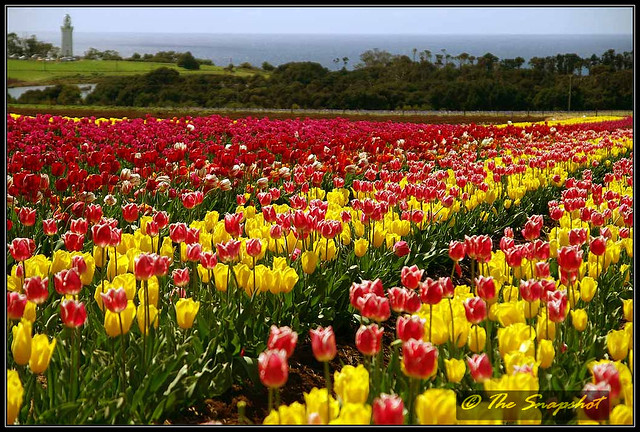 Table Cape Tulips34