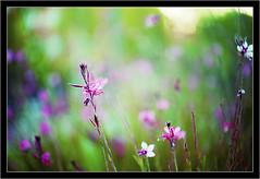 pink landscape (manolo guijarro) Tags: pink flowers flores grass landscape nikon ngc paisaje manolo rosas hierba 105mm guijarro nikkormicro105mmf28 d700 goldstaraward