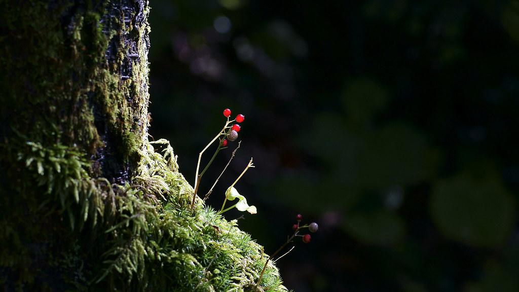 Maianthemum dilatatum